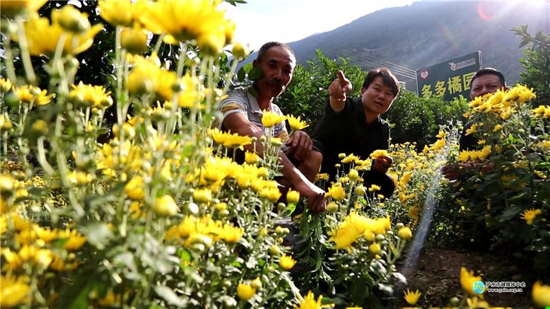 """老窩村:""""柑菊""""復合種植美了村莊富了百姓"""
