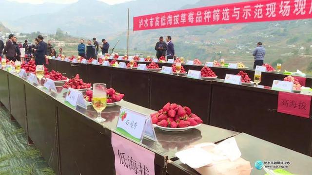 泸水市筛选出5个适宜不同海拔种植的草莓品种